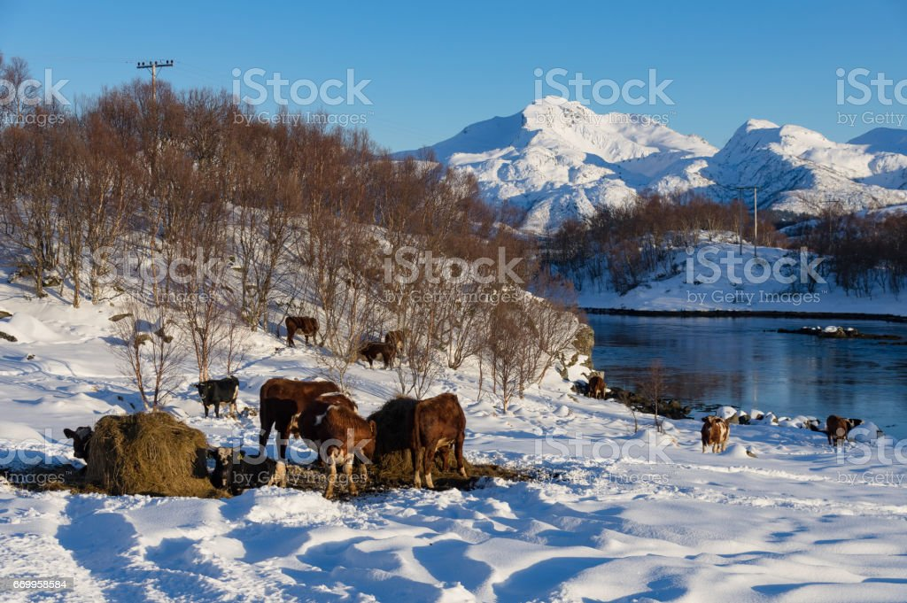Winter Cows royalty-free stock photo