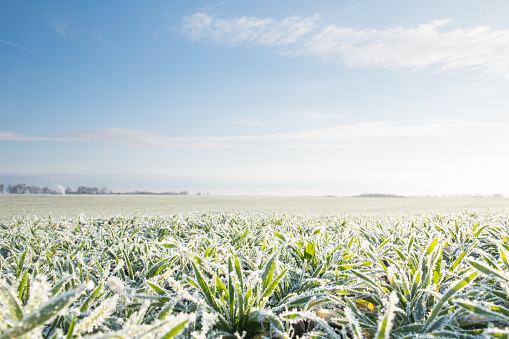 Winter crops covered with frost.