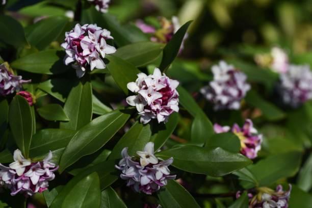 Winter daphne flowers – zdjęcie