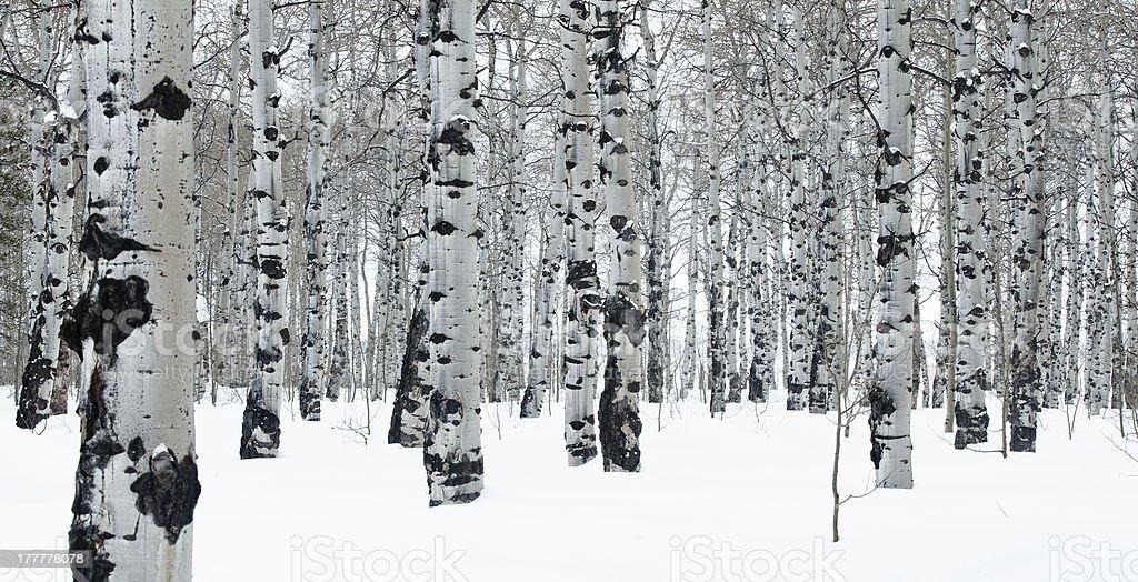 Winter Day in an Aspen Grove stock photo