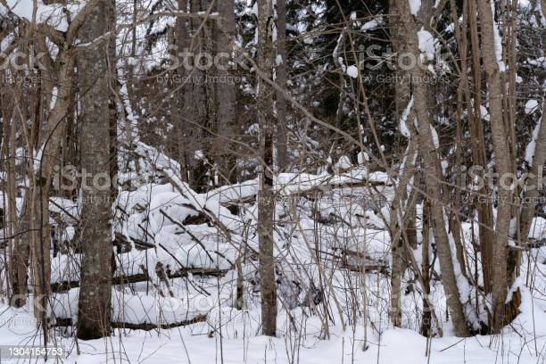 Photo of winter day in Latvia with white fluffy snow in the forest where you can see many thin tree trunks