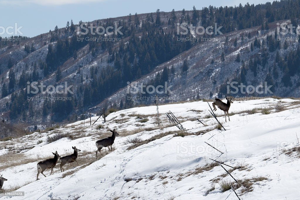 Winter deer herd jump fence Colorado With the snow covered Pike National Forest and mountains in the distance, a herd of mule deer jump over a barbed wire fence outside Castle Rock, Colorado. Barbed Wire Stock Photo