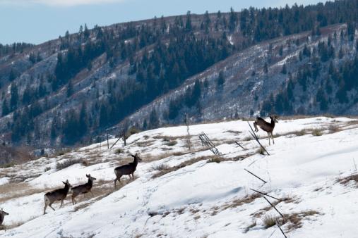 Winter Deer Herd Jump Fence Colorado Stock Photo - Download Image Now