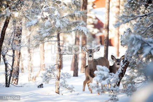 istock Winter Deer in Snow 174842042