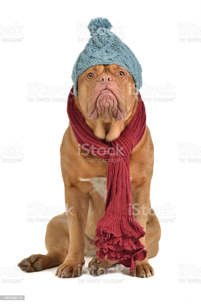 Winter dog with hat and scarf stock photo