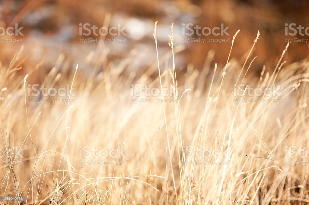 Winter Dried Grass stock photo