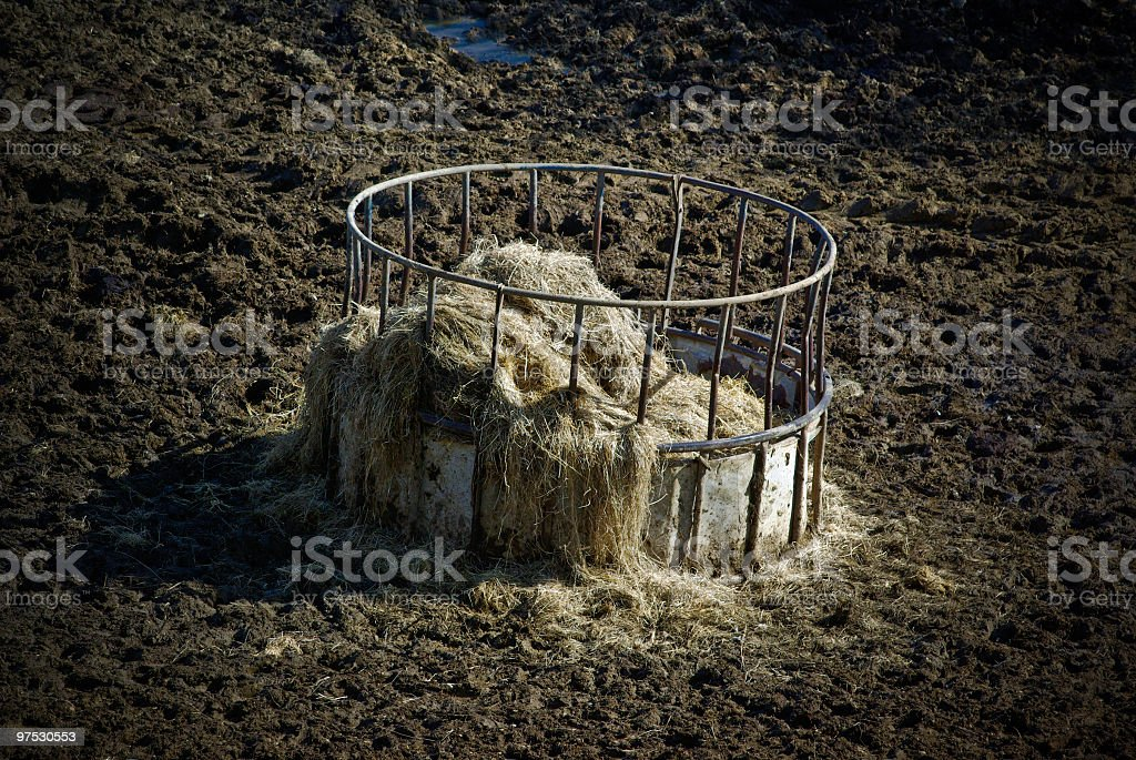 Winter Feed trough in muddy field with silage hay royalty-free stock photo