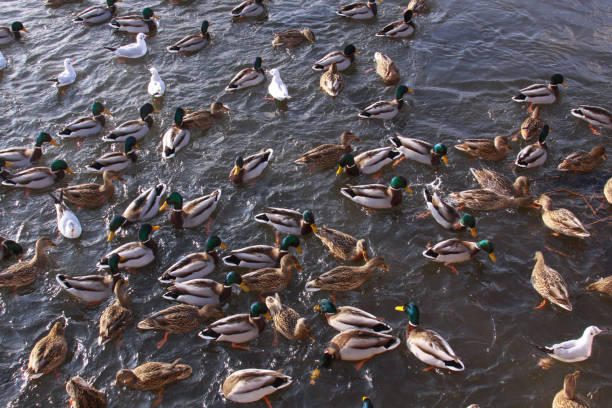 Winter feeding frenzy with ducks and small gulls stock photo