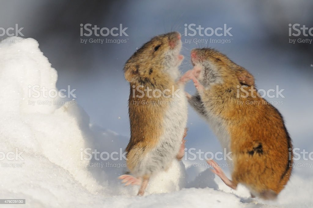 Winter fight of two Striped Field Mice stock photo