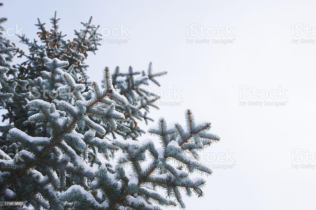 winter fir branch royalty-free stock photo