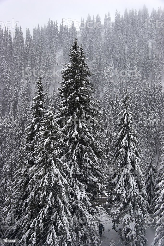 Winter fir forest on mountain slopes royalty-free stock photo