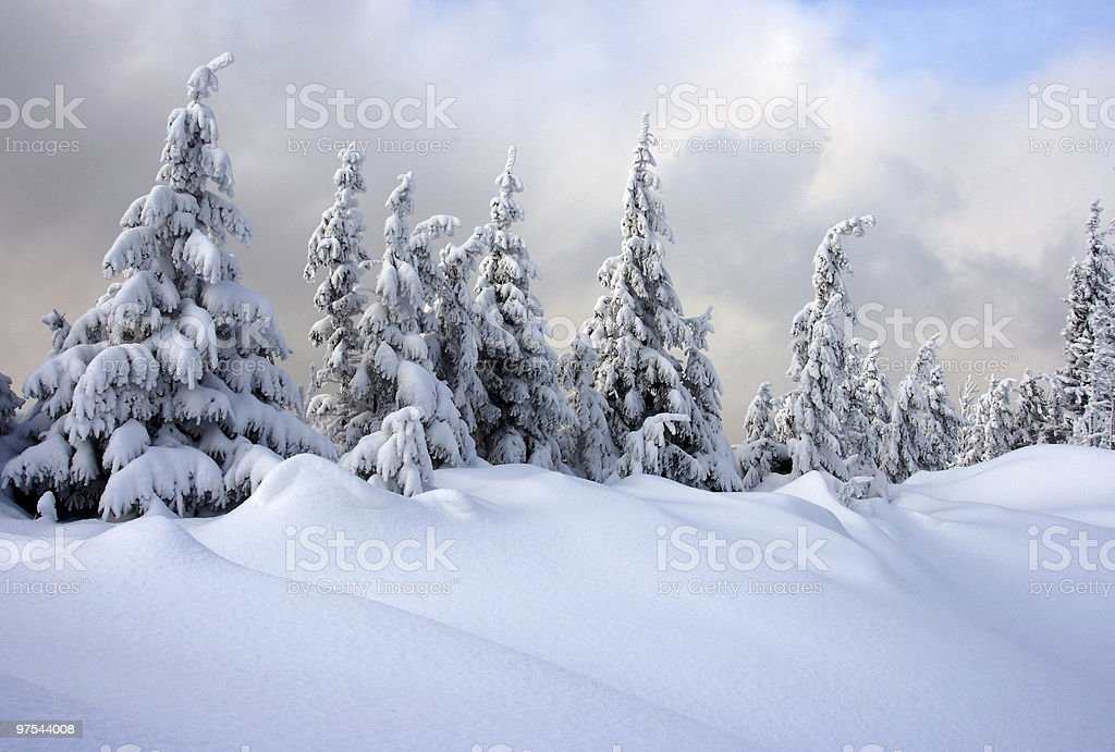Winter fir royalty-free stock photo