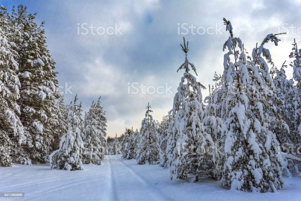 winter fir tree forest in a snow under a cloudy sky stock photo