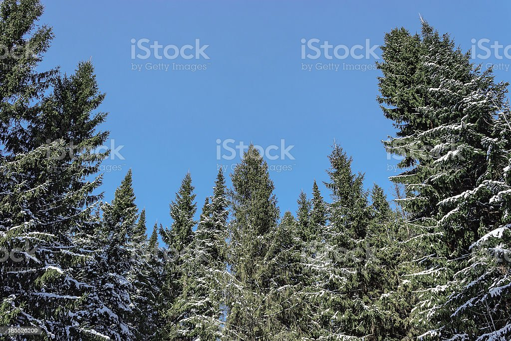 winter fir trees royalty-free stock photo