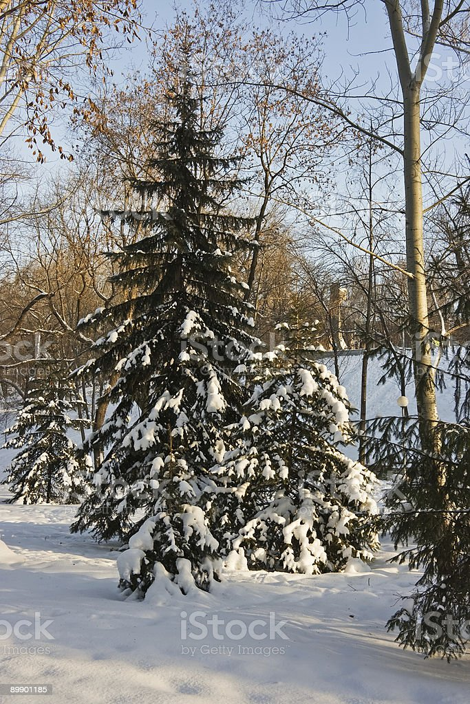 Winter fir-tree royalty-free stock photo