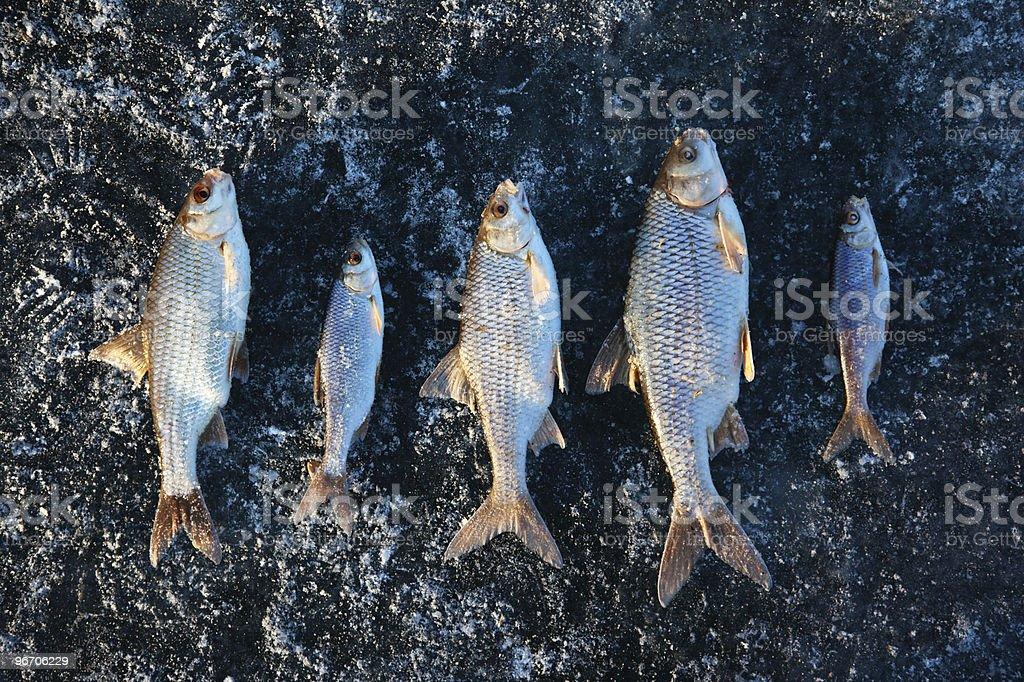 Winter fishing - caught fish on ice royalty-free stock photo