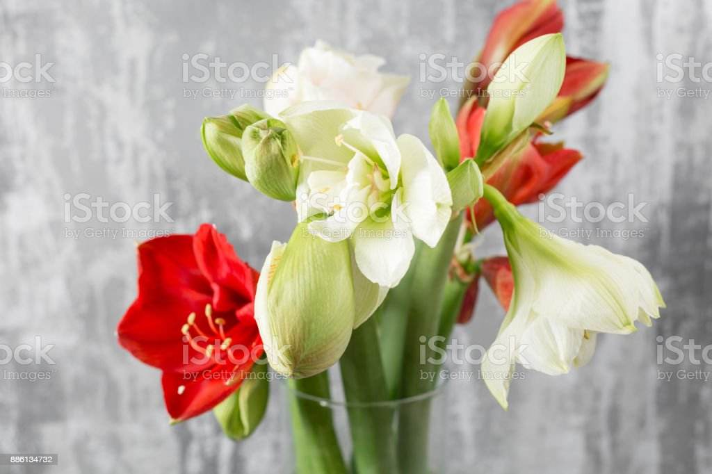 Winter flowers. Amaryllis in a vase watering can standing on a wooden table. On the background old gray wall art. stock photo