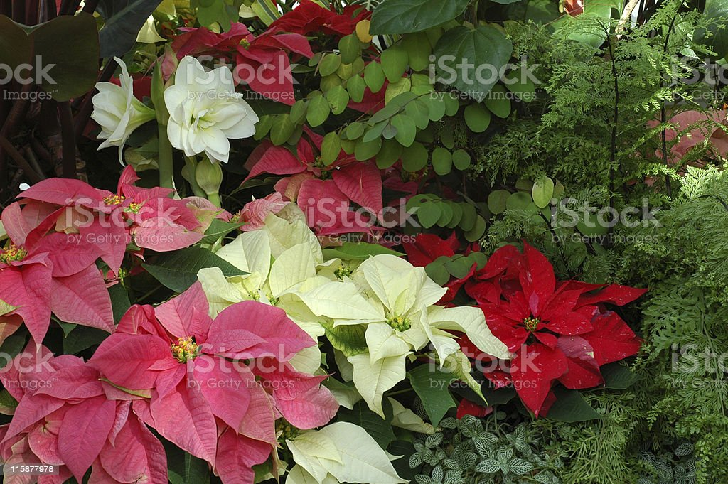 winter flowers, poinsettias and amaryllis stock photo
