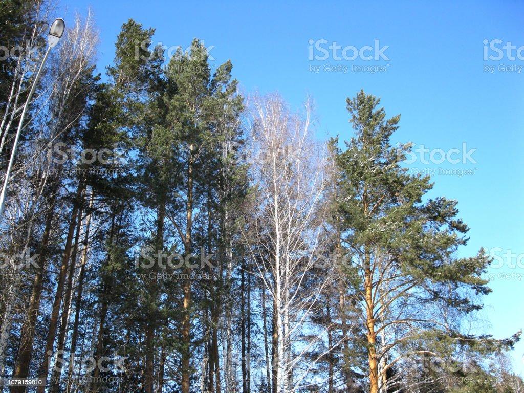 Winter Wald und blauer Himmel – Foto
