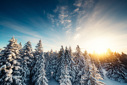 Winter Forest At Sunrise