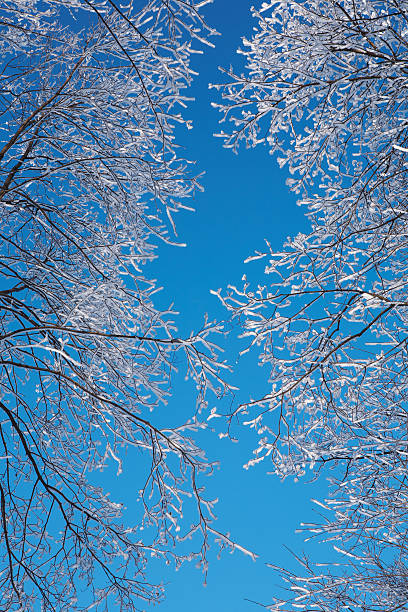 Winter forest background - clear blue sky, tree branches stock photo