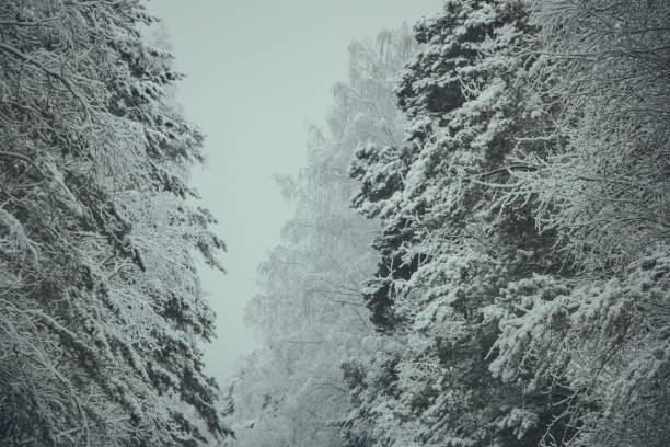 winter forest beautiful nature siberia russia snow-covered branches winter cold pine trees stock photo