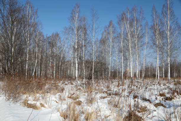 Winter Forest Covered in Snow in Siberia