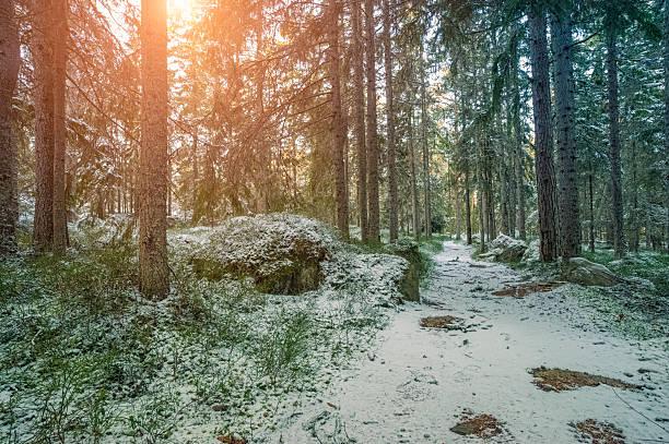 winter forest in sweden - pine forest sweden bildbanksfoton och bilder