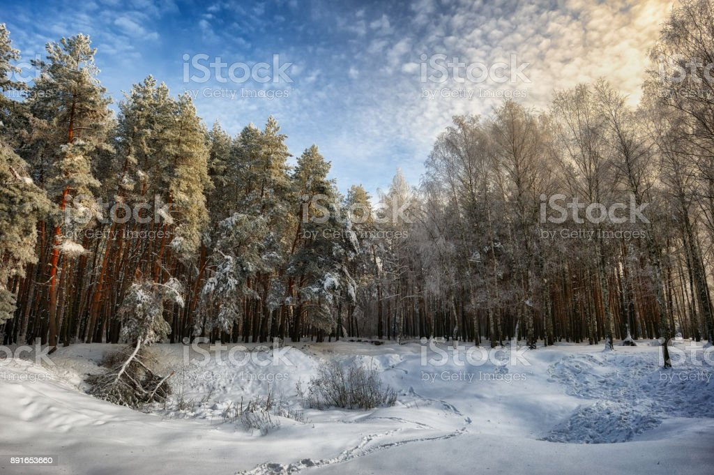 winter forest. morning in a snowy forest stock photo