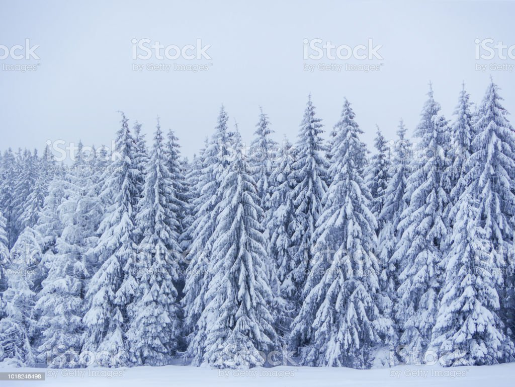 winter forest nature landscape with snow covered trees nature