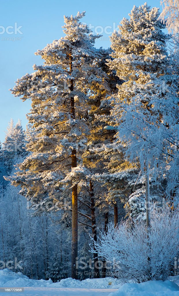 Winter Forest Snow FInland Scandinavia royalty-free stock photo