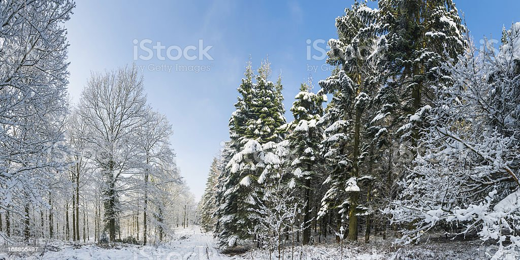 Winter forest snowy trees crisp white woodland panorama royalty-free stock photo