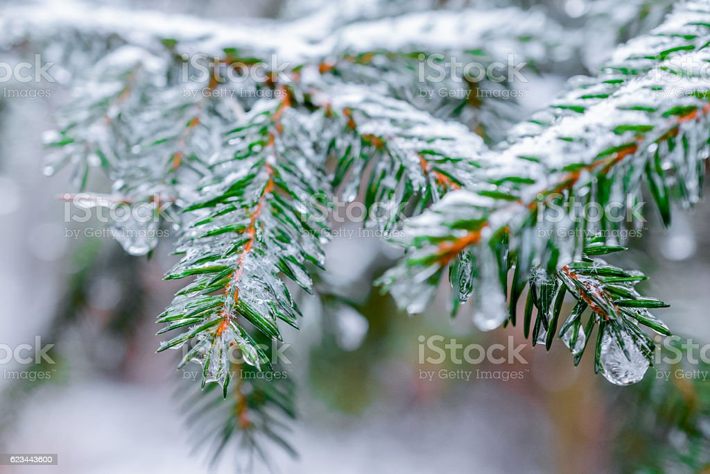 Winter Forest, spruce branches covered with snow. stock photo