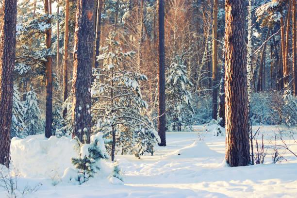 winter forest bomen vallende sneeuw - siberië stockfoto's en -beelden