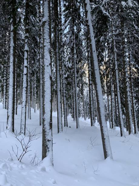 Cтоковое фото Winter forest with great snow. Pine trees with fresh snow