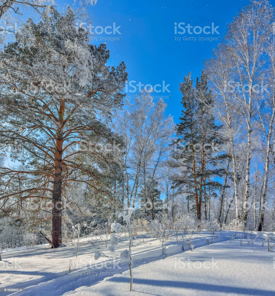 Winter forest with snow and hoarfrost covered at bright sunny weather stock photo