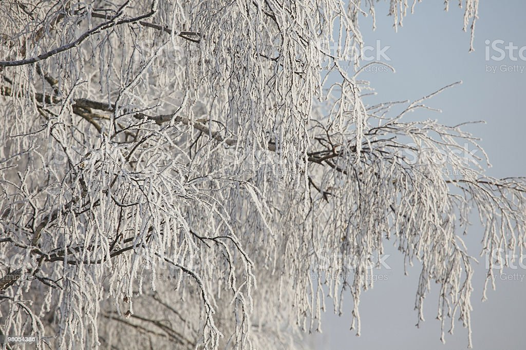 Winter frost on birch tree branches royalty-free stock photo