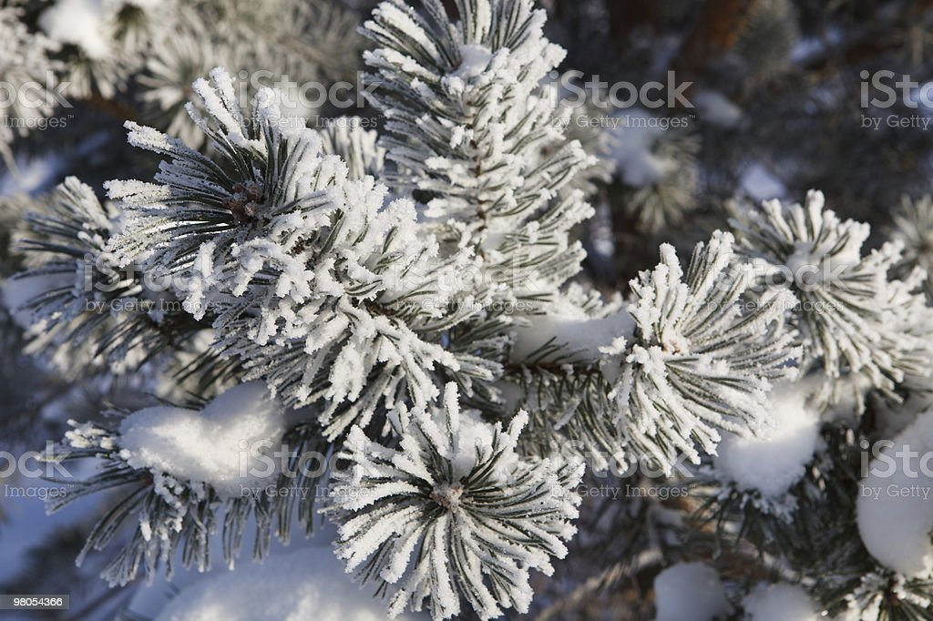 Winter frost on spruce tree royalty-free stock photo