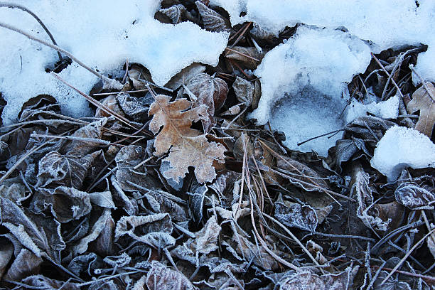 Winter Frosted Leaves stock photo