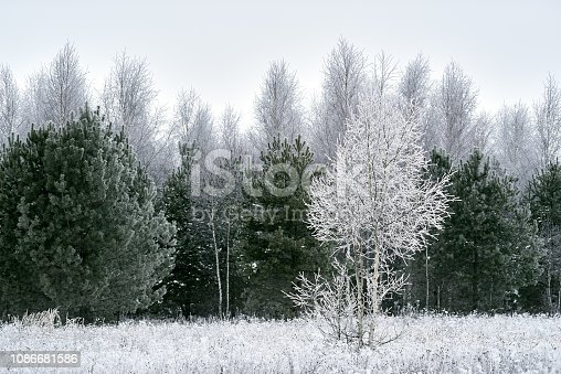 Winter frosted pine tree and birch tree, field grass, white cloudy sky