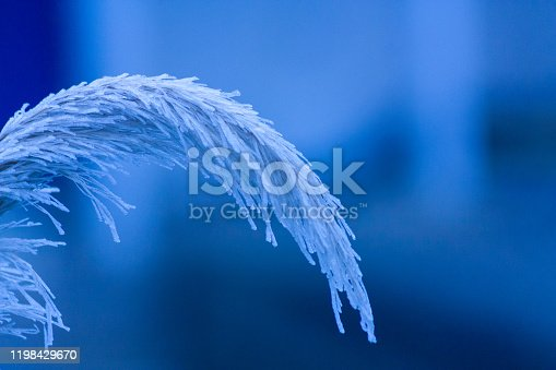 Winter frosts on plants