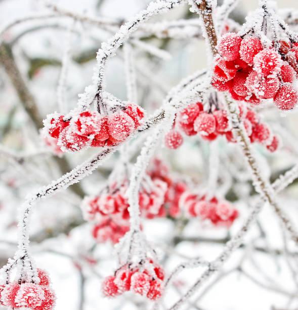 Winter Frozen Viburnum Under Snow. Viburnum In The Snow. First snow. Beautiful winter stock photo