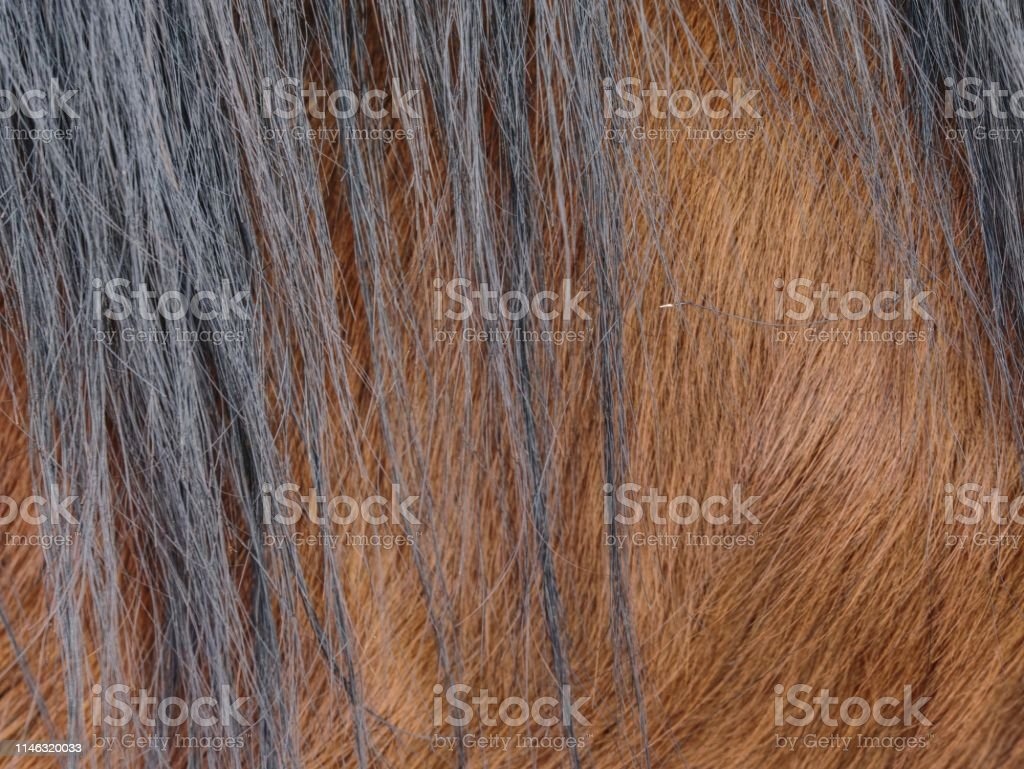 Winter fur skins of horse. Pony hair detail on body of real animal