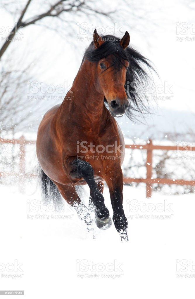 Galopp im Winter – Foto