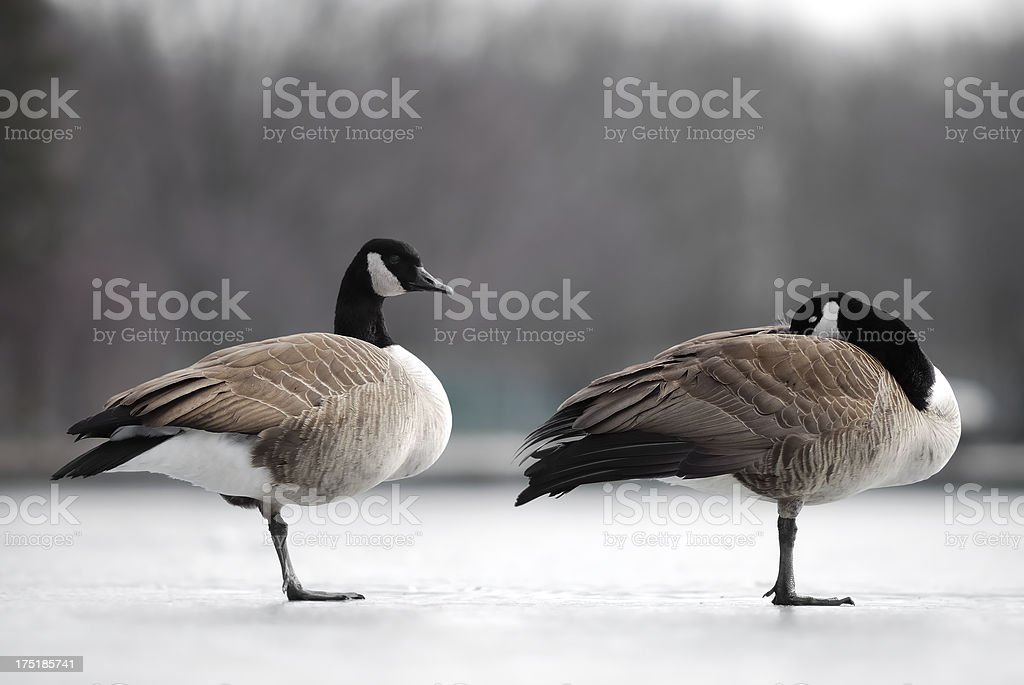 Winter geese. royalty-free stock photo