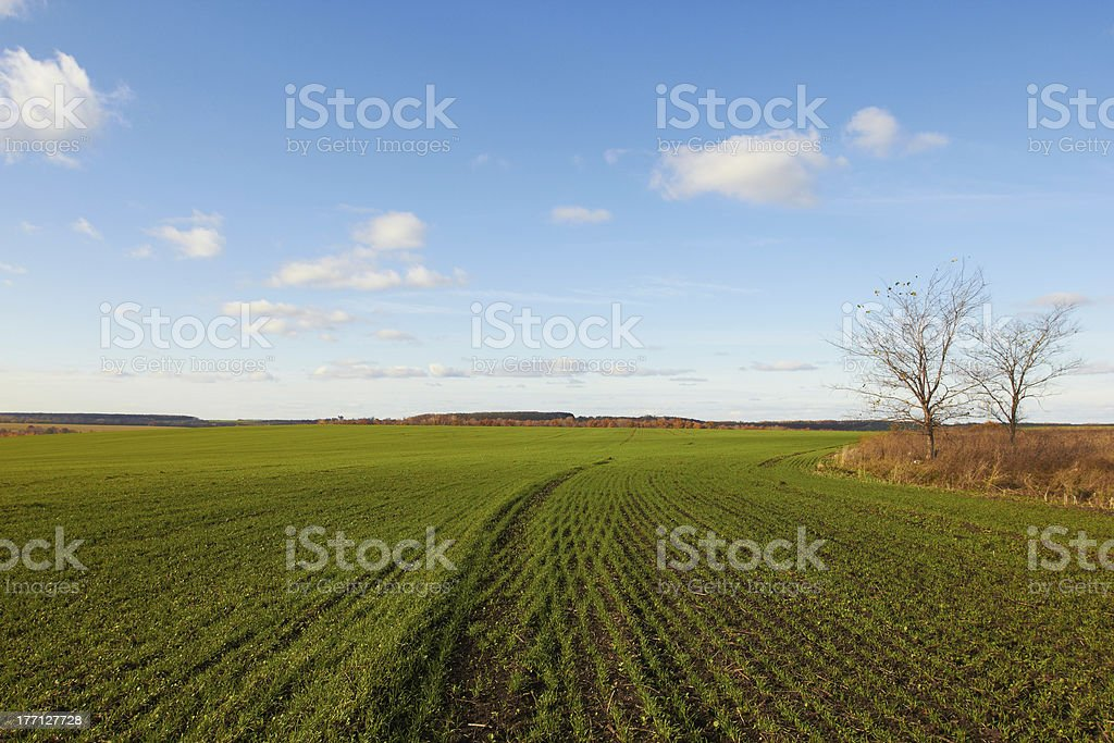 Winter grain crops green field background and two trees stock photo