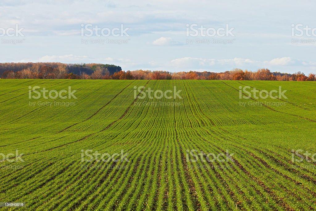 Winter grain crops green field background - distant shot stock photo