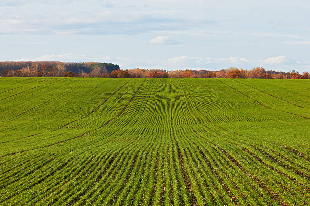 Winter grain crops green field background - distant shot stock photo
