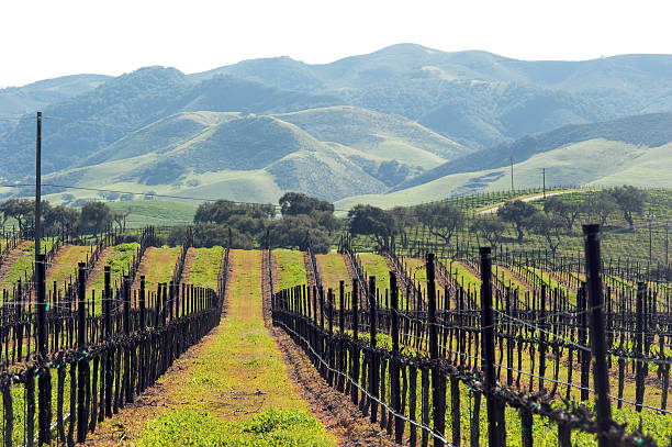 winter grape vines ready for spring - central coast california stock photos and pictures