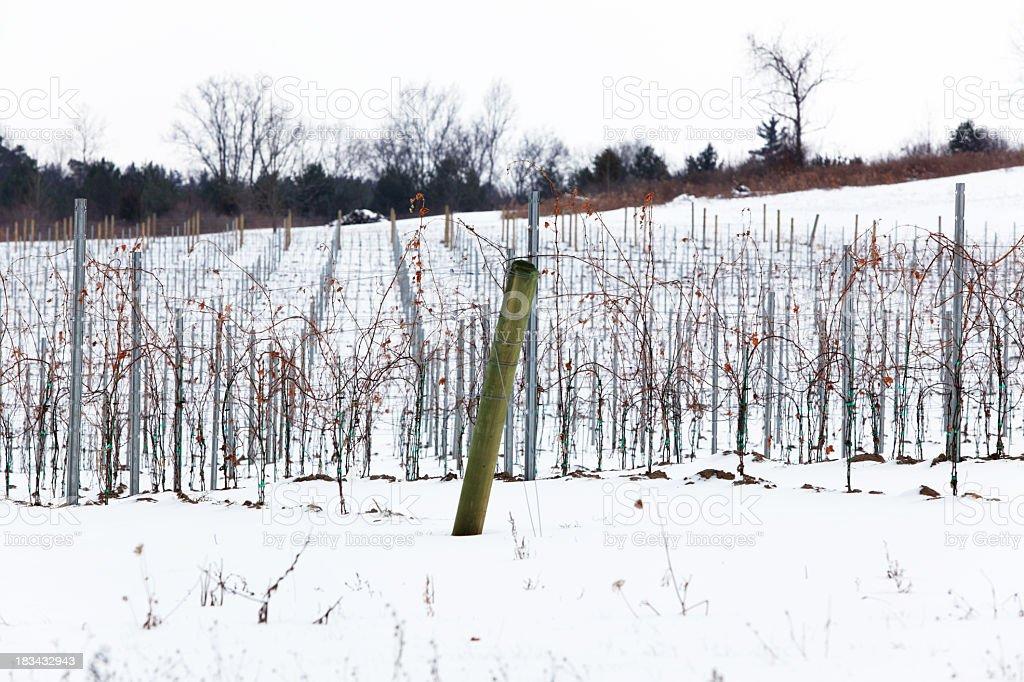 Winter Grape Vineyard in Western New York State stock photo